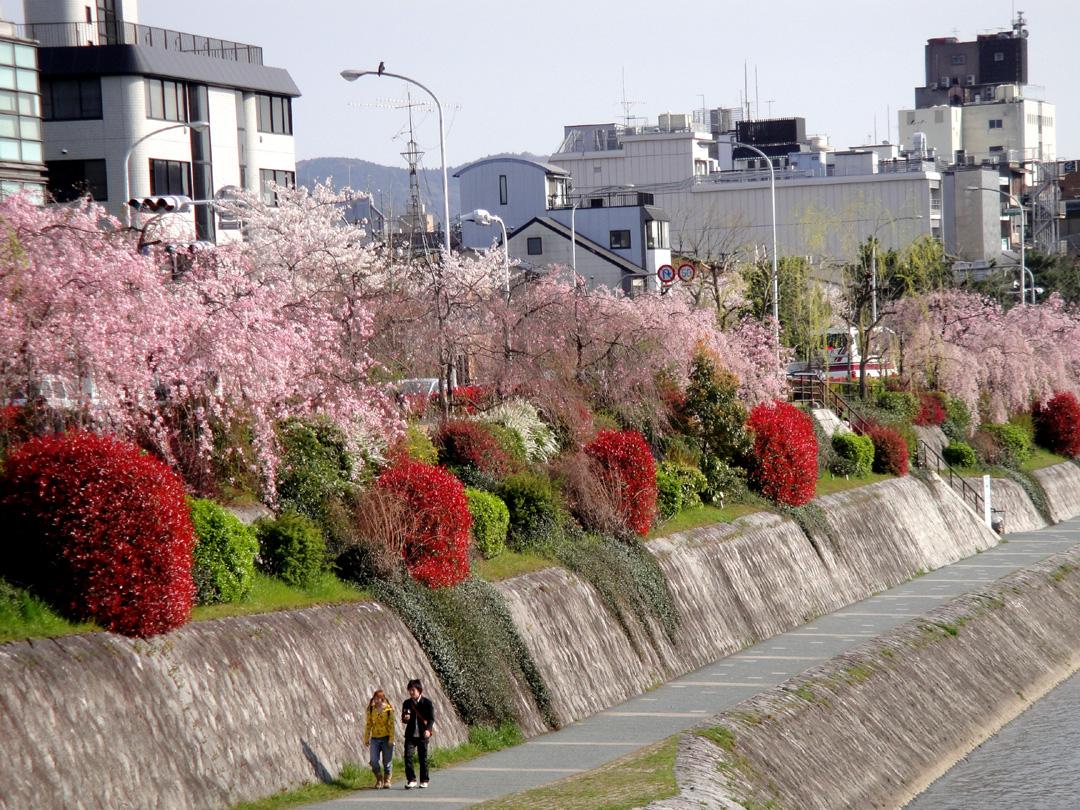 Kamogawasakura