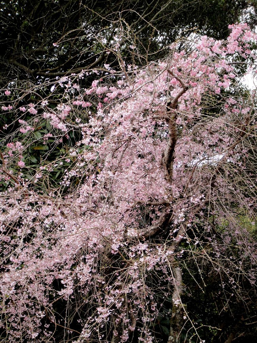 Fushimishidare