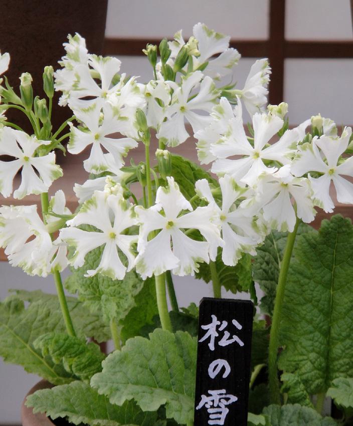Matsunoyuki