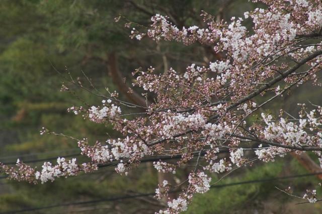 Sakuran2